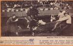 Wild Cow Race 1971